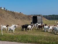 Goats invade 4 Wing Cold Lake!